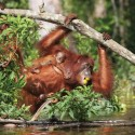 Demi Janji untuk Orangutan