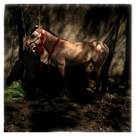 Seekor kuda yang dipersiapkan untuk lomba pacuan kuda di Kabupaten Dompu, Nusa Tenggara Barat.