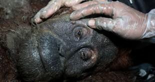 OIC menyelamatkan Orangutan Sumatera betina berumur 15 tahun karena terisolasi di perkebunan warga.