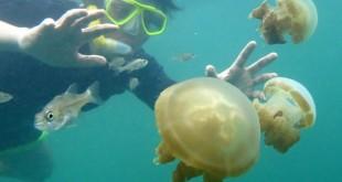 Wisatawan berenang bersama Ubur-Ubur di Danau Kakaban, Kepulauan Derawan, Berau, Kaltim, Kamis (12/3).