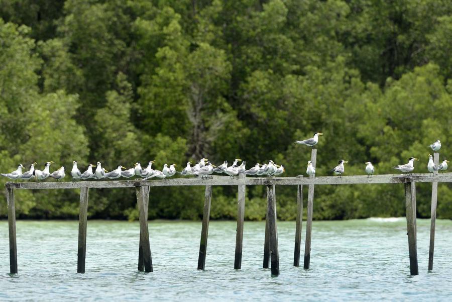 Burung Camar berjajar di pantau teluk sulaiman, Biduk Biduk, Berau