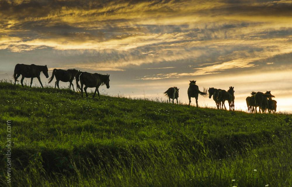 Kawanan kuda berlaraian di padang sabana di daerah Wairinding, Sumba Timur.