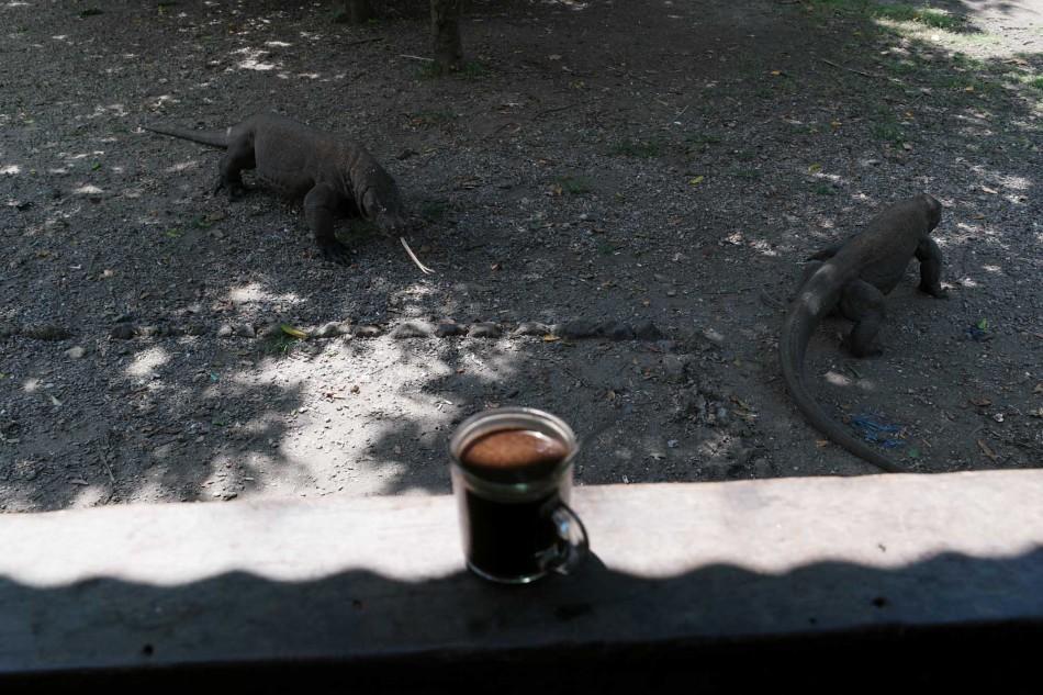 Menikmati secangkir kopi panas ditemani dua ekor komodo